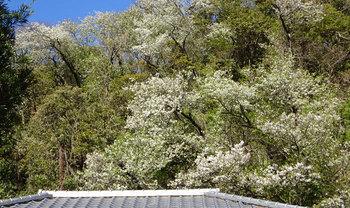 20200402山桜.jpg